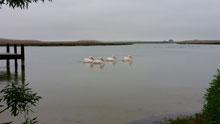 Pelicans, Bokkom Lane