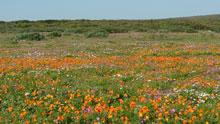 Wildflowers, West Coast National Park